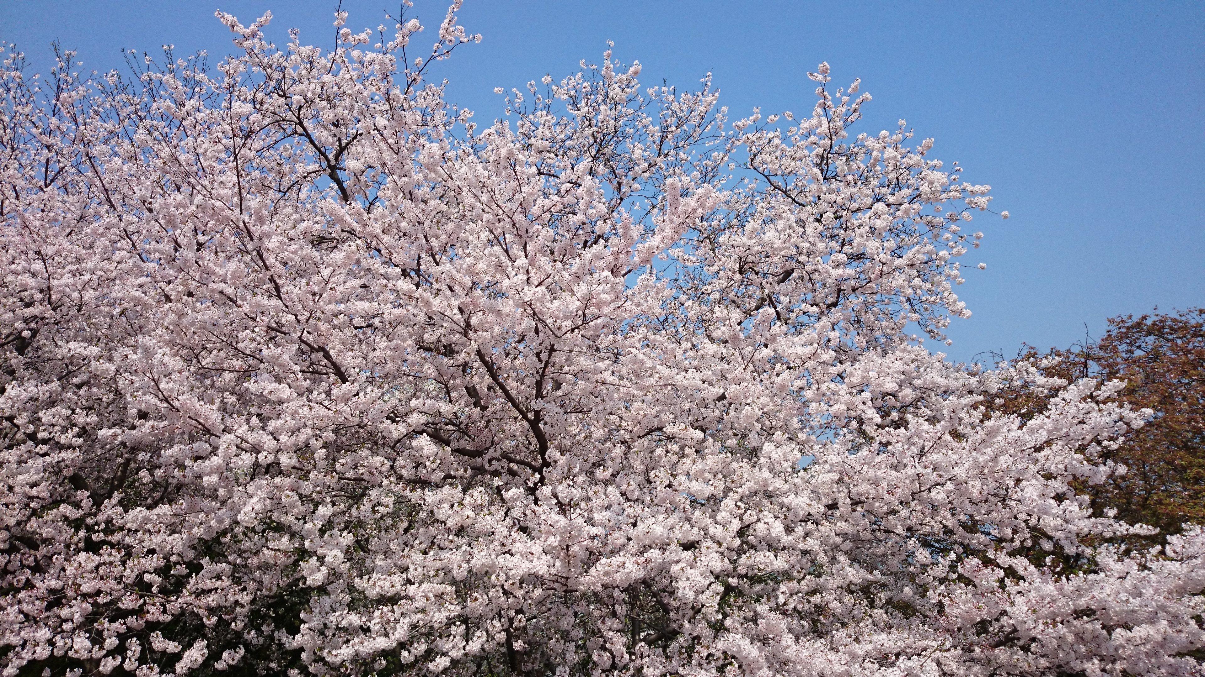 「ブロガー連動企画」佐賀県唐津市と、福岡県糸島市の桜を愛でる。 #sakura2015bl